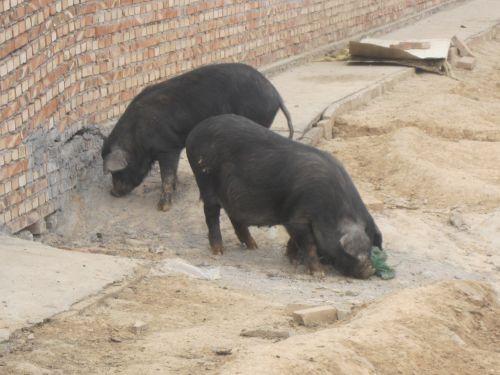如何去选择藏香猪苗?藏香猪养殖技术过程有哪些?